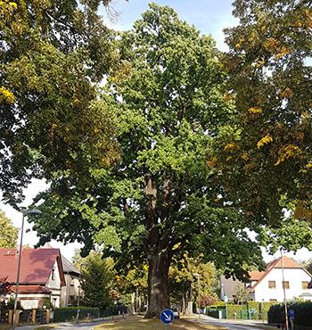 Eichwalder_Friedenseiche, Foto by Nicor, wikipedia